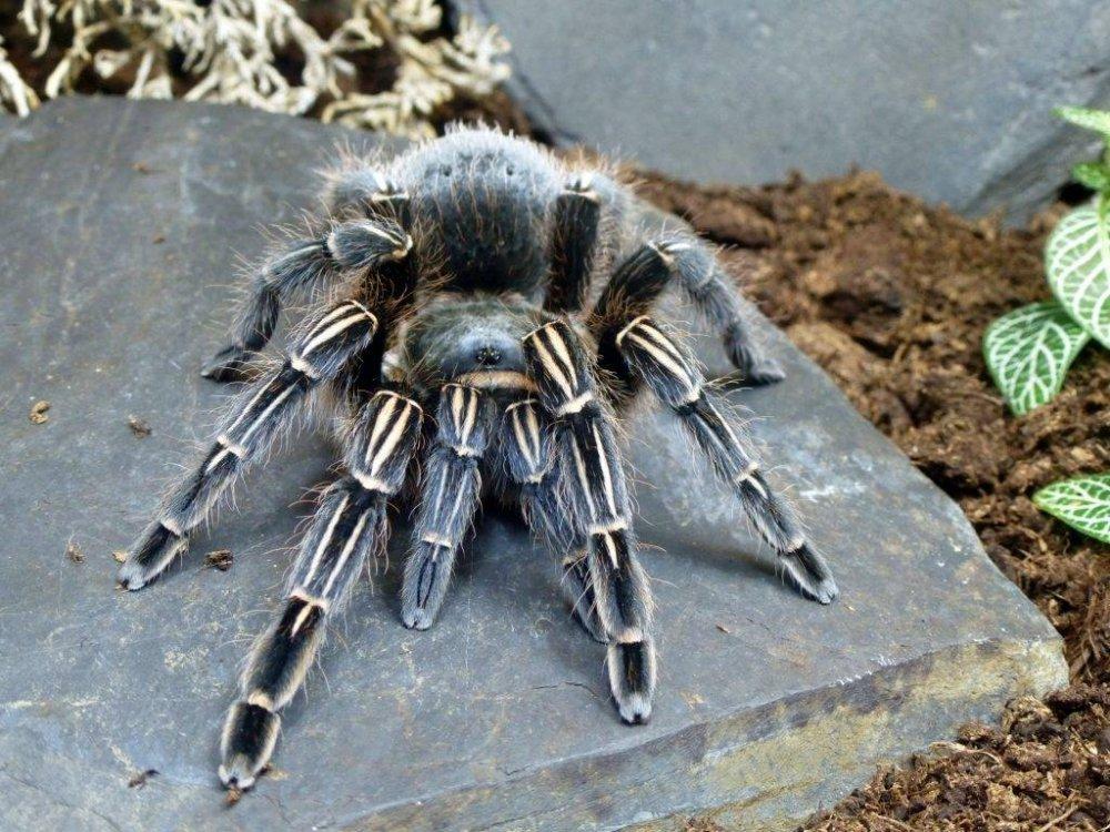 Синий-паук-птицеед-Aphonopelma-seemanni-фото-1024x768.jpg
